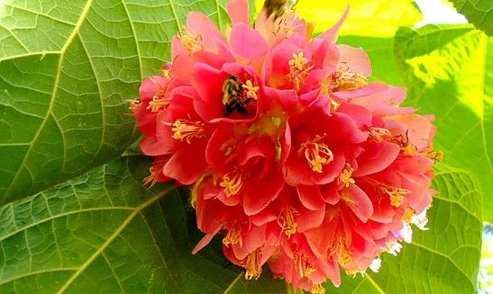 flores da dombeya