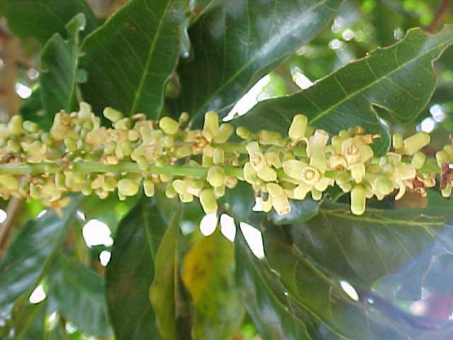 flores da guarea_giudonia