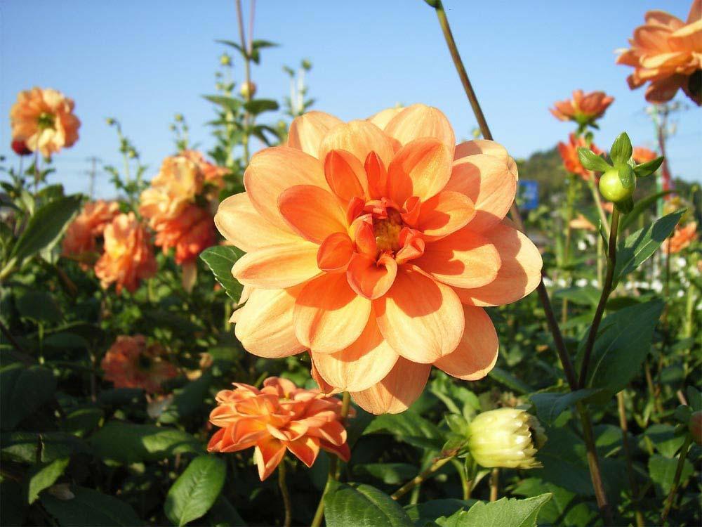 flores-dalias