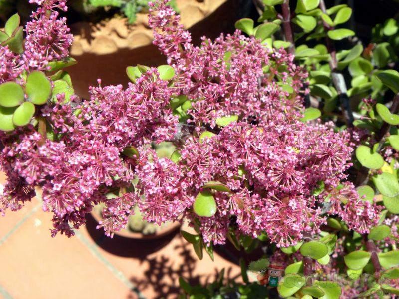 flores de Portulacaria afra