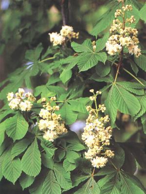 flores de aesculus