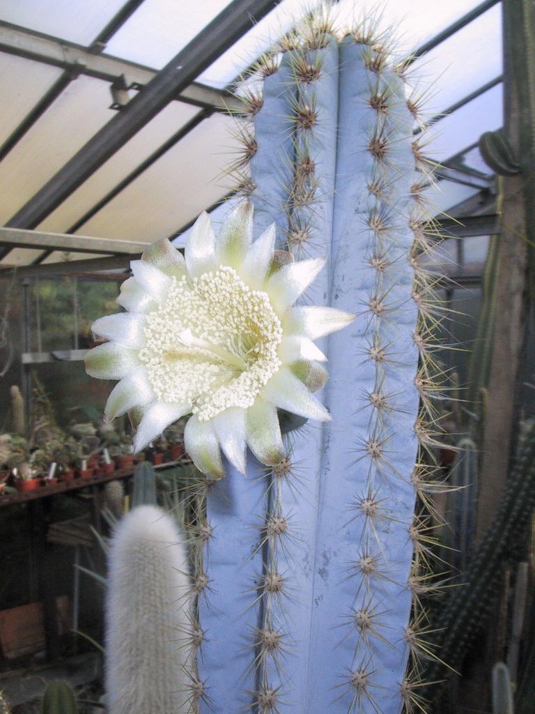 flores do Pilosocereus pachycladus
