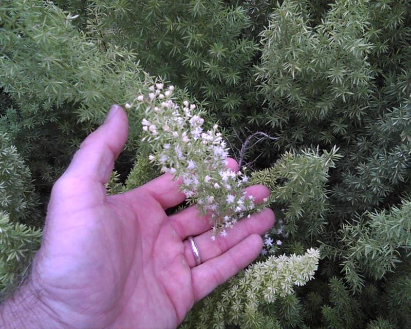 flores do aspargo-rabo-de-gato