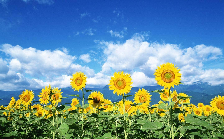 flores do campo _33