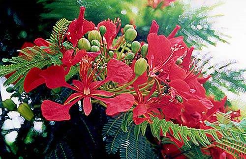 flores do flamboyan