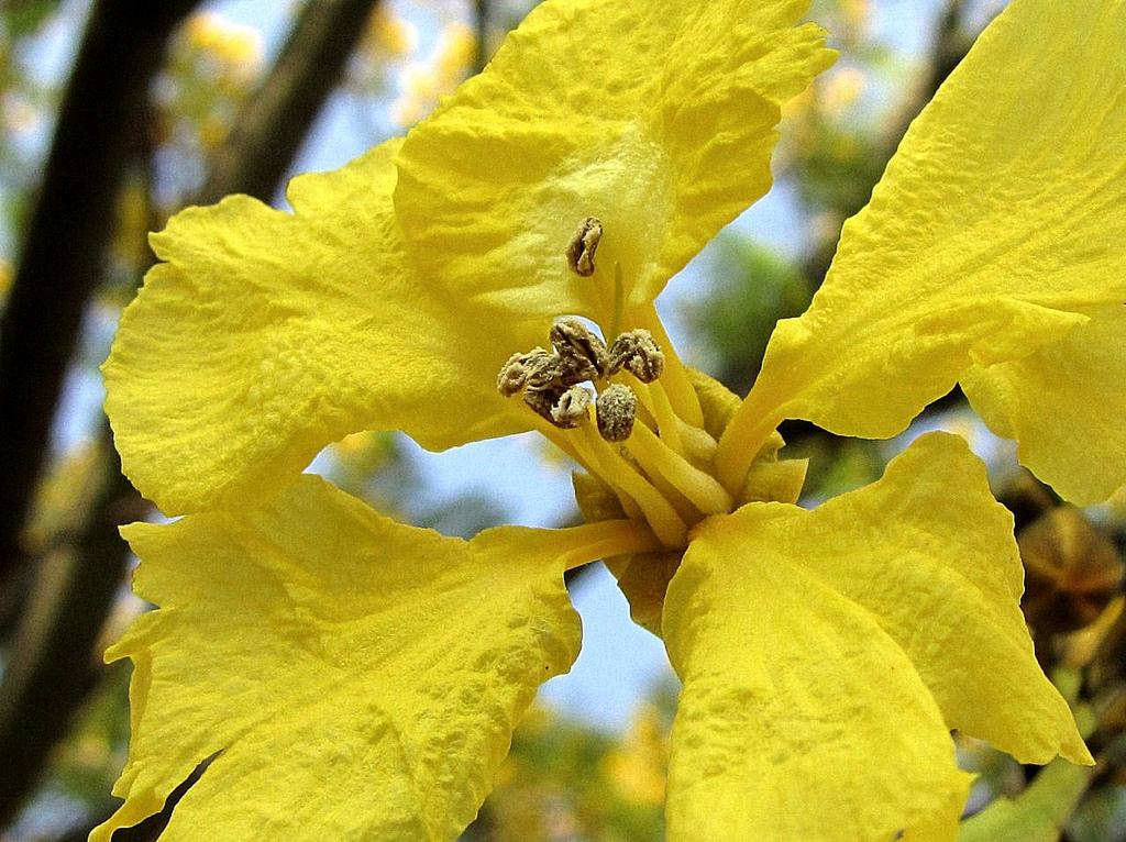 flores do guapuvuru