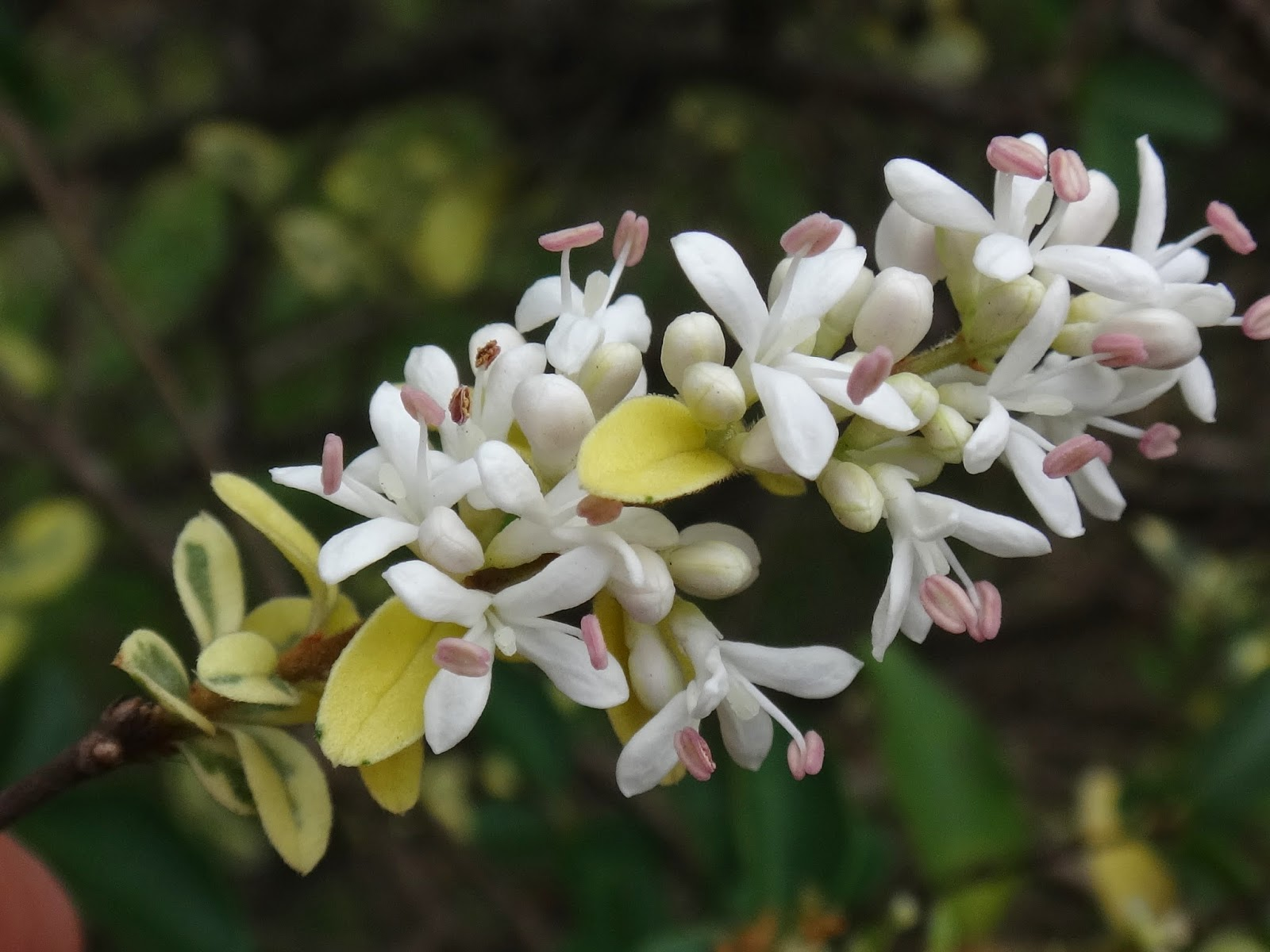 flores do ligustro variegata (27)