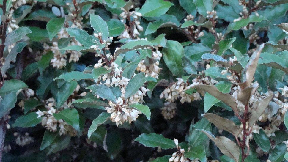 flores elaeagnus-pungens