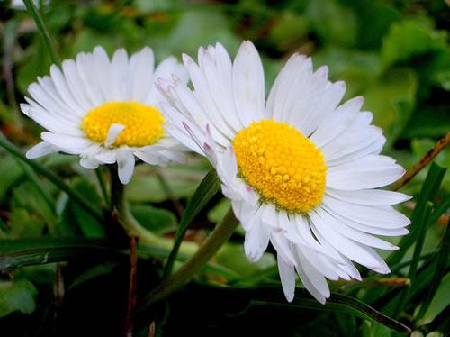 flores-margaridas