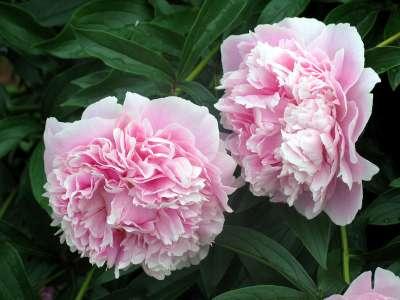 flores-peonia_