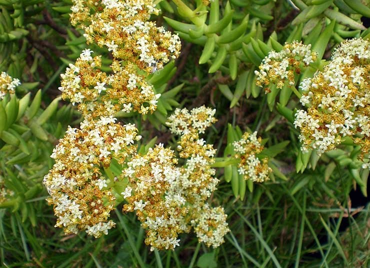 flores_crassula_tetragona_4