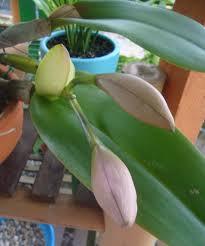 florescimento