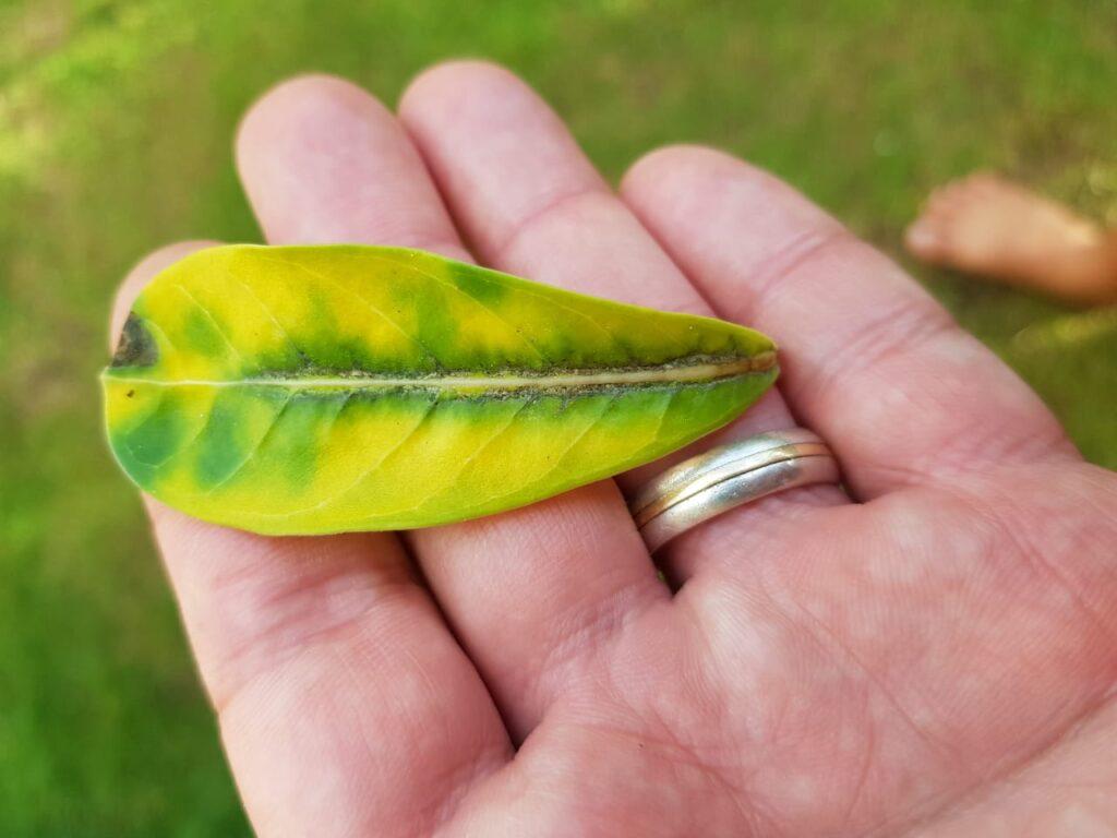 folhas-amarelas-