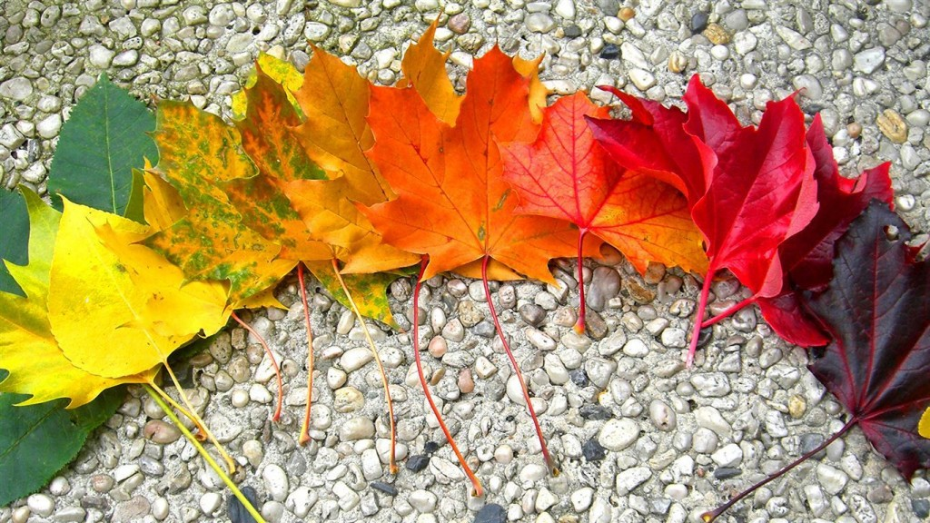 folhas da árvore bordo