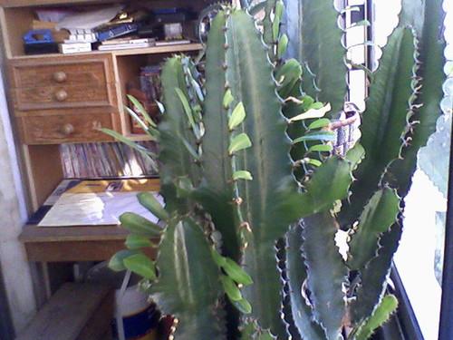 folhas de cactus