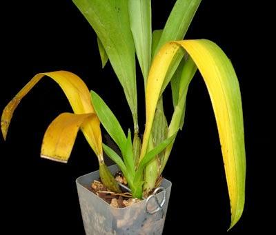 folhas de oncidium com folhas amareladas