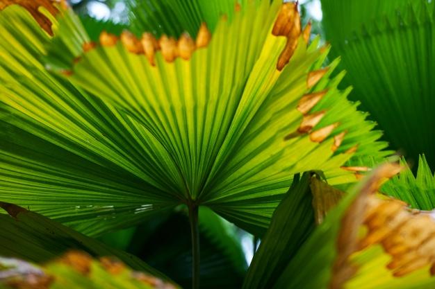 folhas-de-palmeira-com-pontas-queimadas