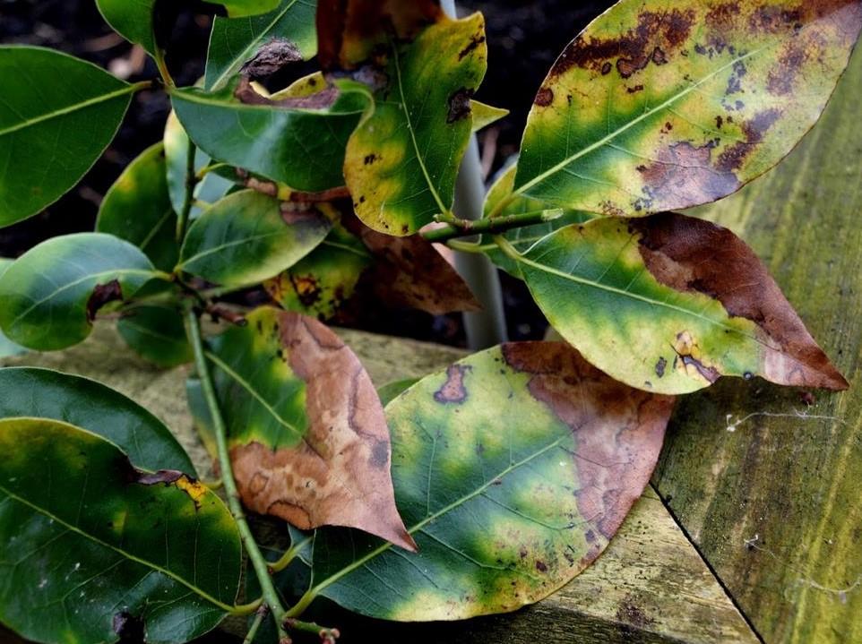 folhas doentes .