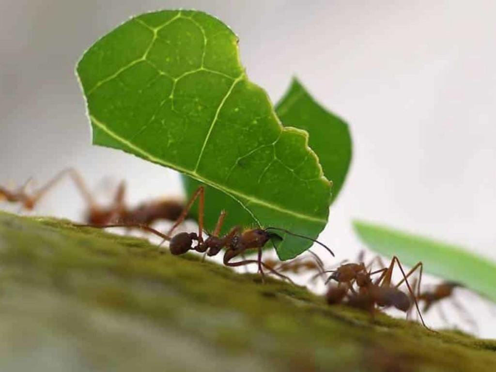 folhas-formigas