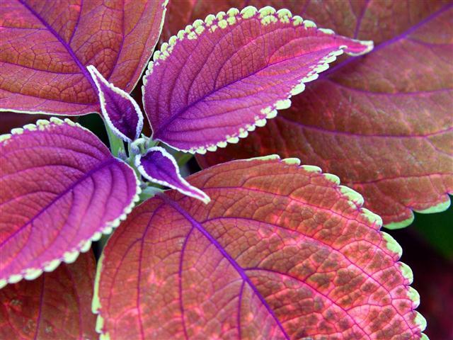 folhas-purpuras