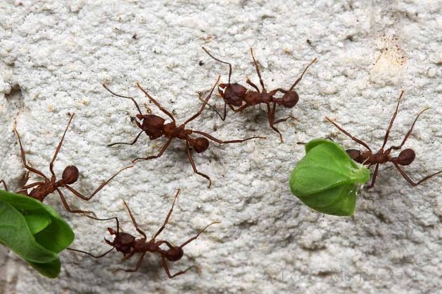 formigas-cortadeiras-630x420