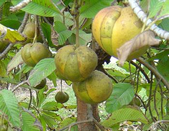 fruto da dillenia indica