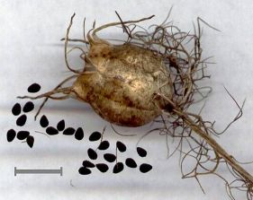 fruto e sementes de nigella-damascena