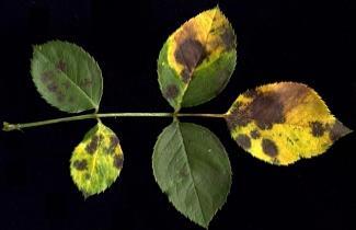 fungo Diplocarpon rosae