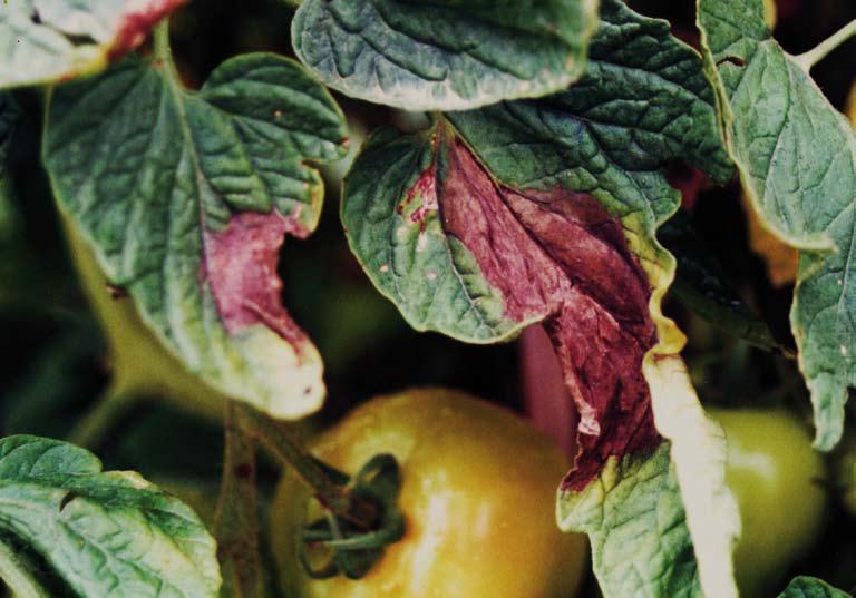 fungo-tomate