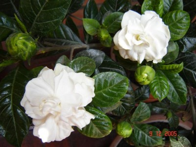 gardenia-jasminoide