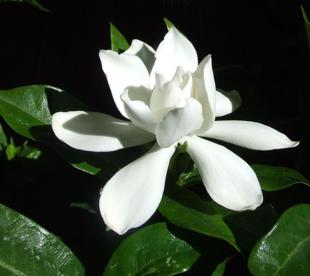 gardenia-jasminoidesii