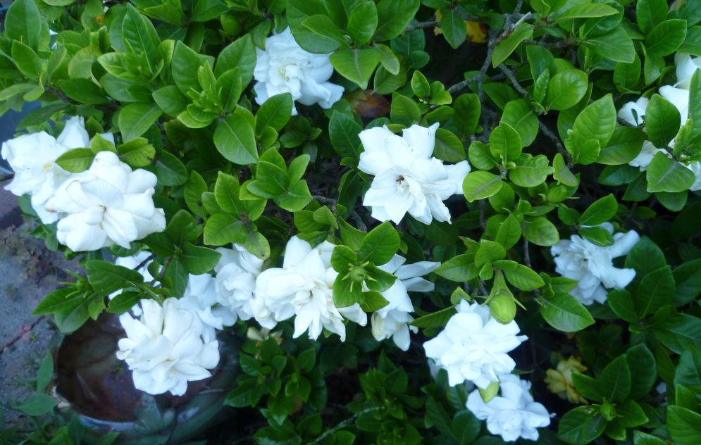 gardenia-jpg