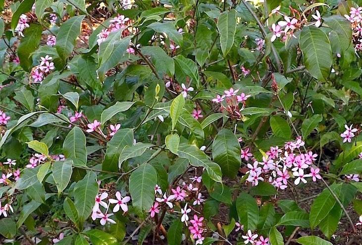 gardenia-rosa