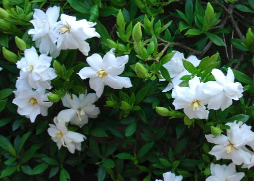 gardenia111
