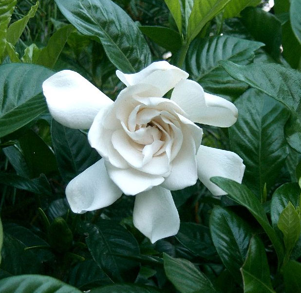 gardenia_01
