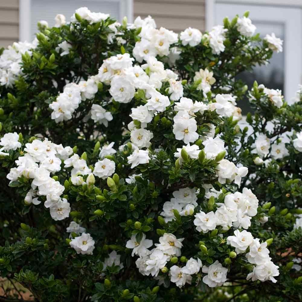 gardeniajasminoide