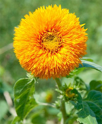 girassol flor dobrada