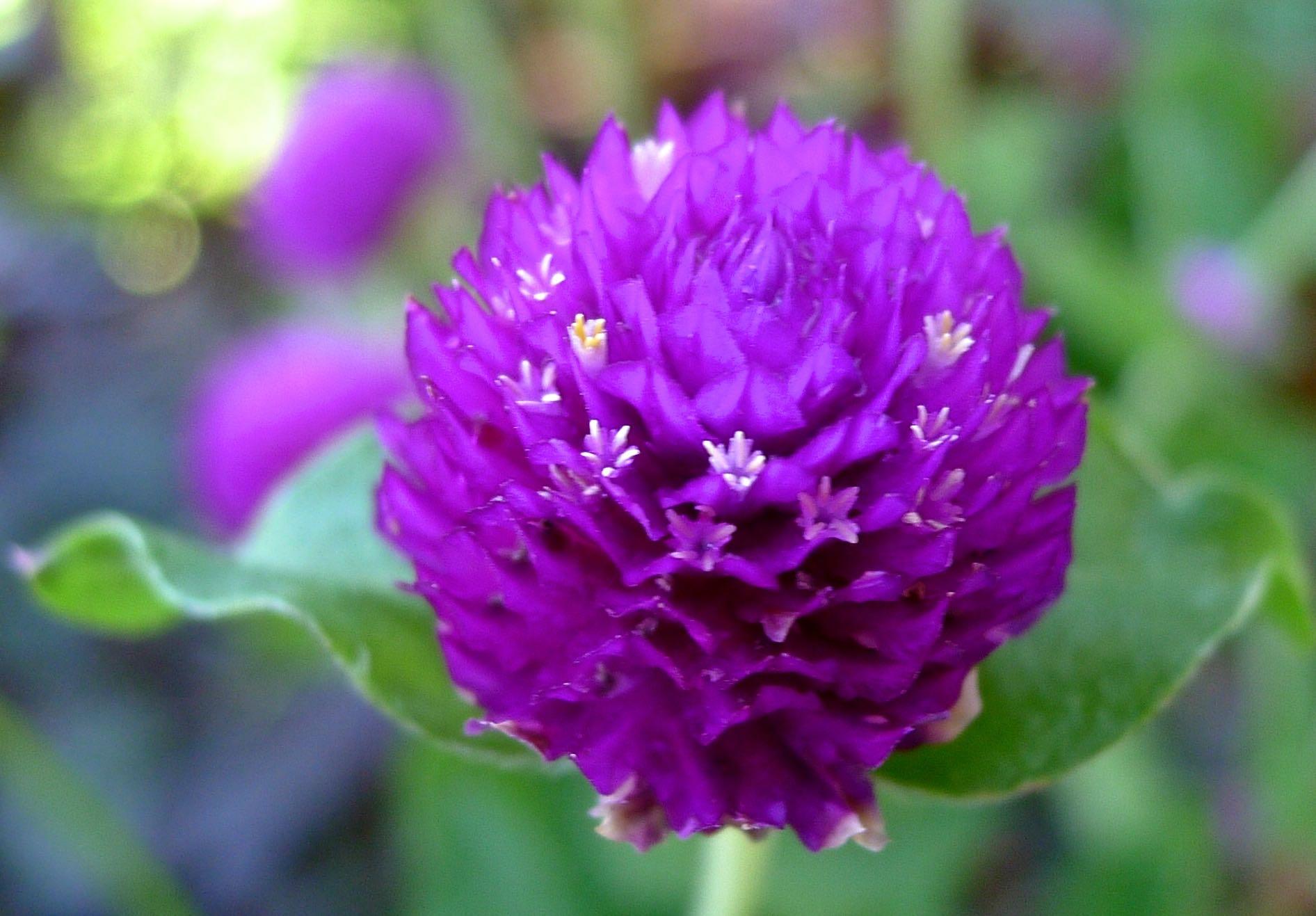 Globe Amaranth, Gomphrena globosa (Amaranthaceae) - 09