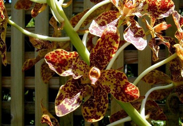 grammatophyllun speciosum