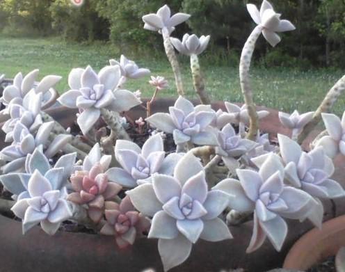 graptopetalum-paraguayense