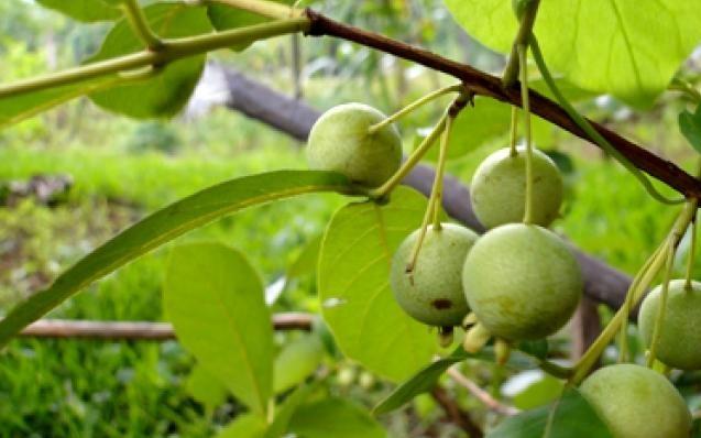 guabiroba-frutos