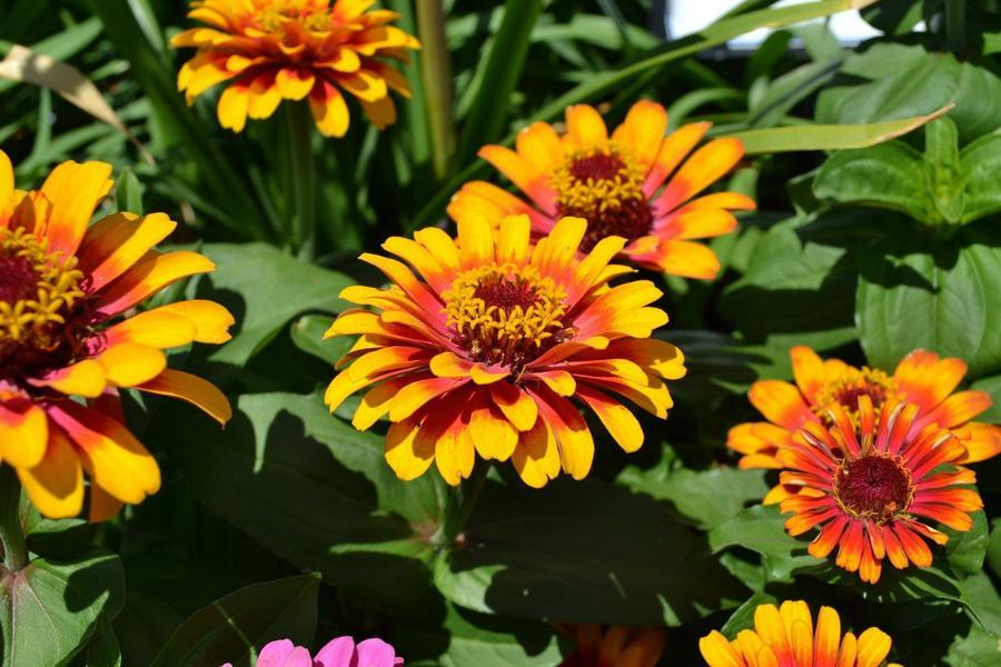 herbacea-