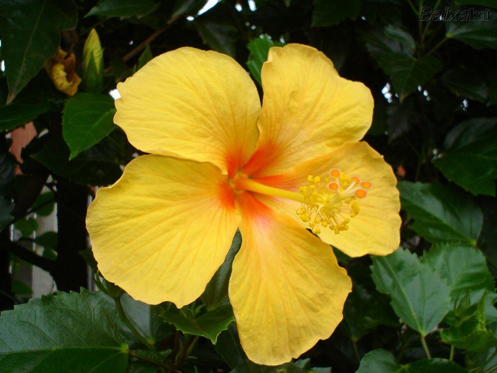 hibisco-amarelo