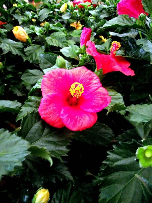 hibisco-flor-1
