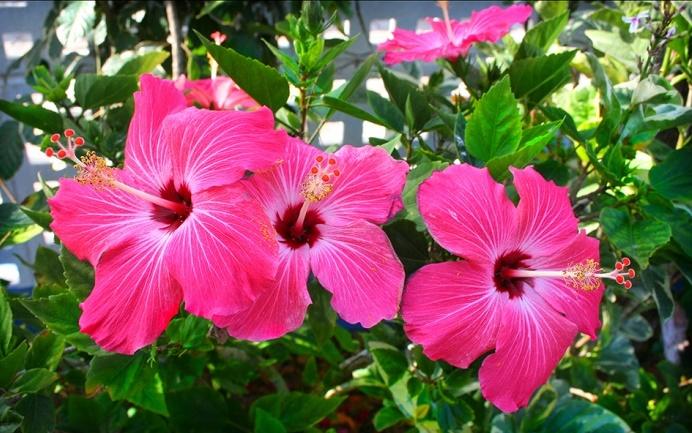 hibisco-flor
