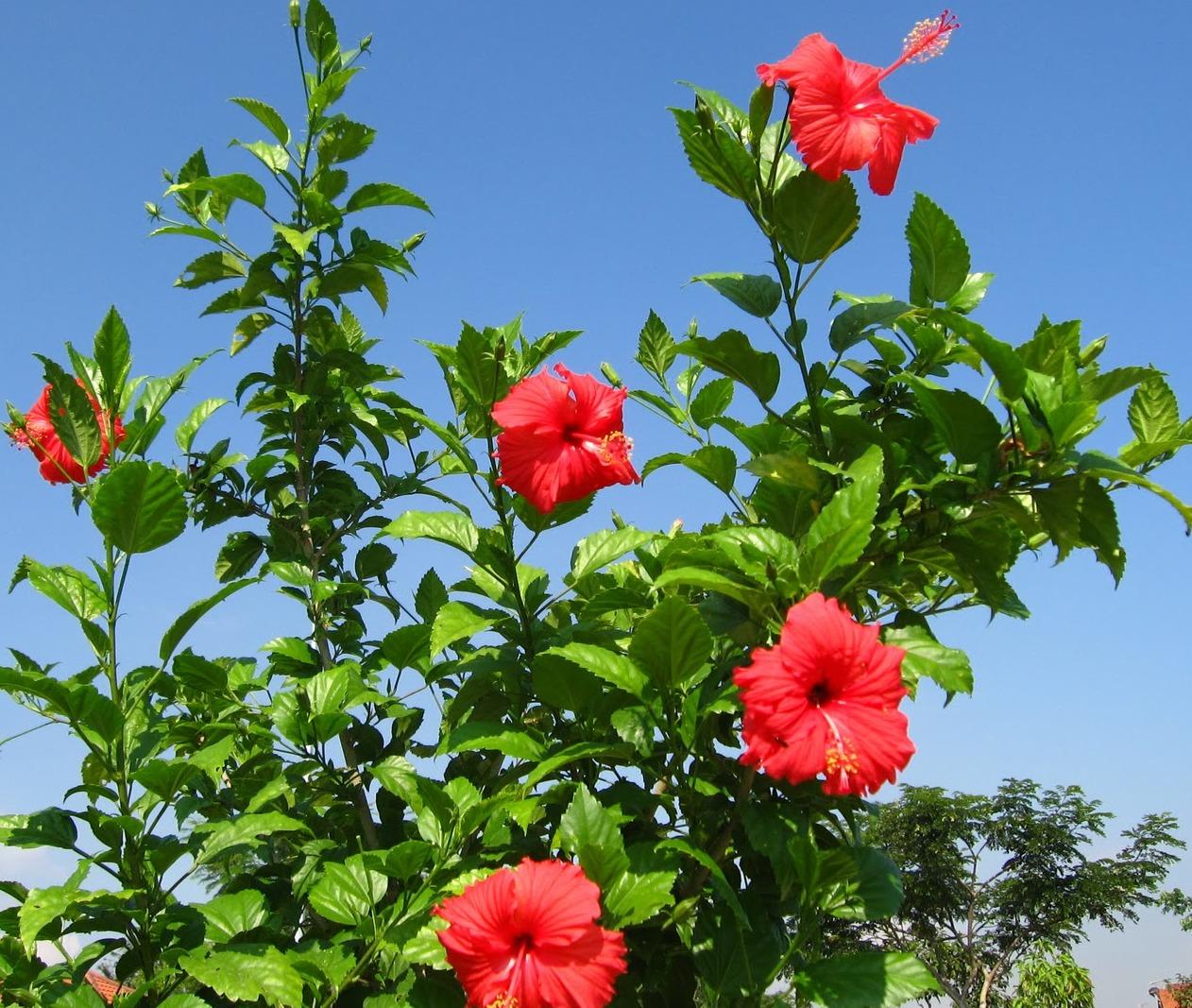 hibisco rosa-sinensi