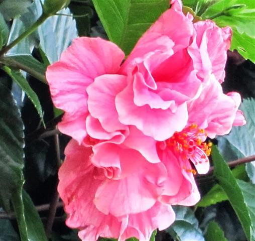 hibisco semidobrado