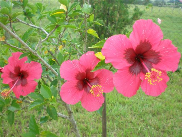 hibiscos (Small)