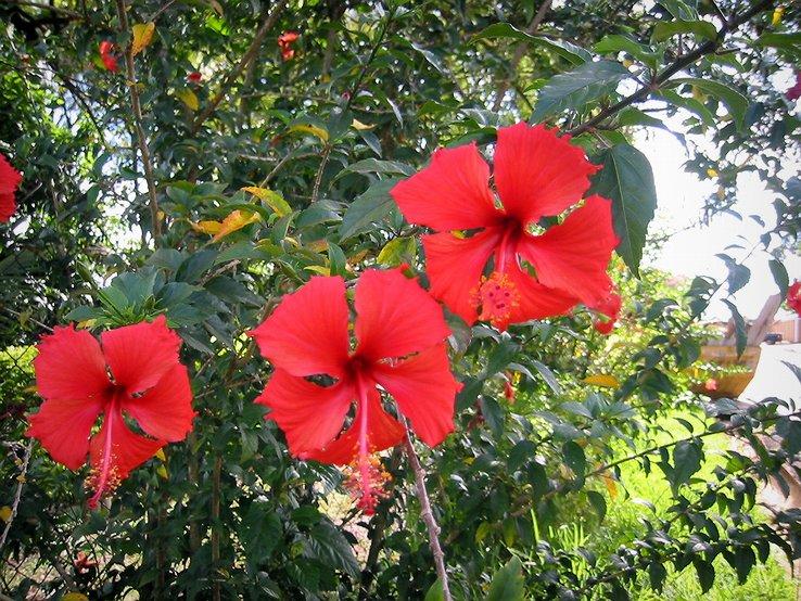 hibiscos1
