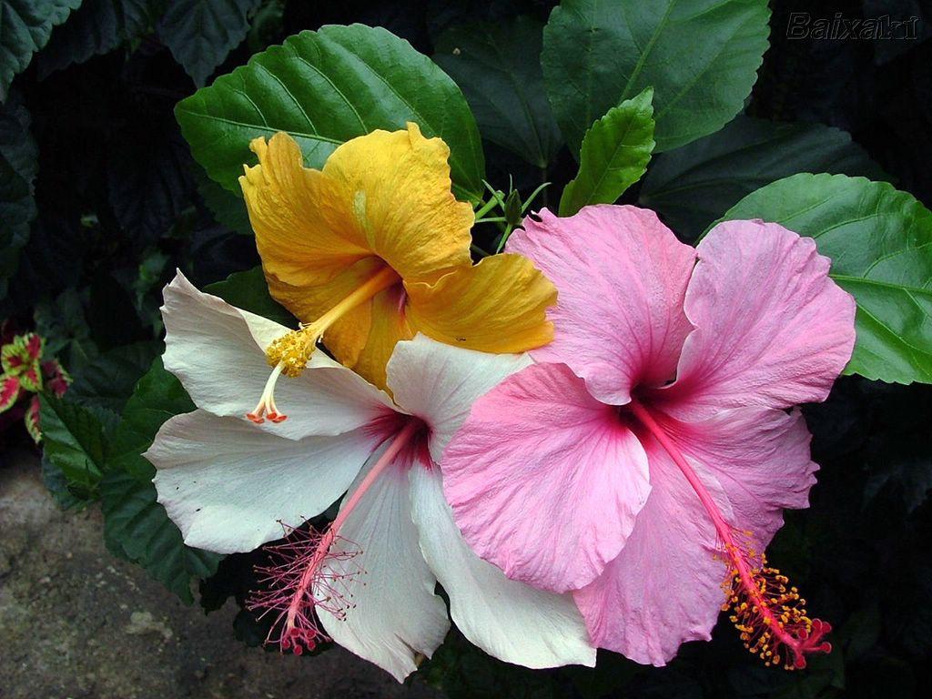hibiscos_55